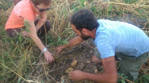 sacando patatas